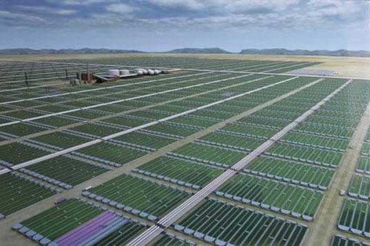 Tảo mặt trời trồng tại trang trại