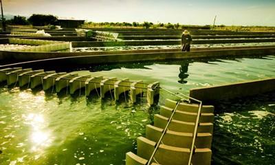 Giá tảo mặt trời Spirulina